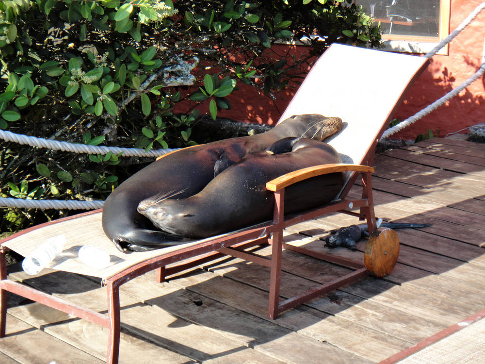 Spotted: chilling sea lions taking sunbaths in the Galapagos Islands